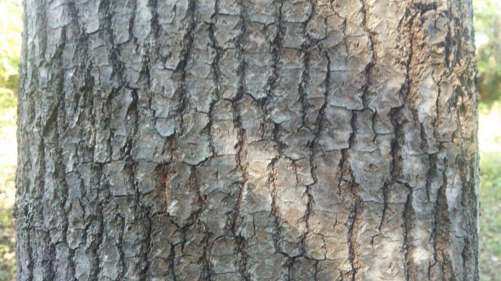 アスペンの樹皮