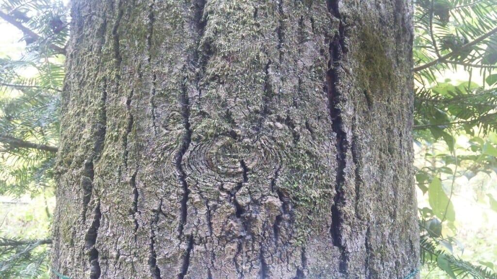ヤマナラシの樹皮