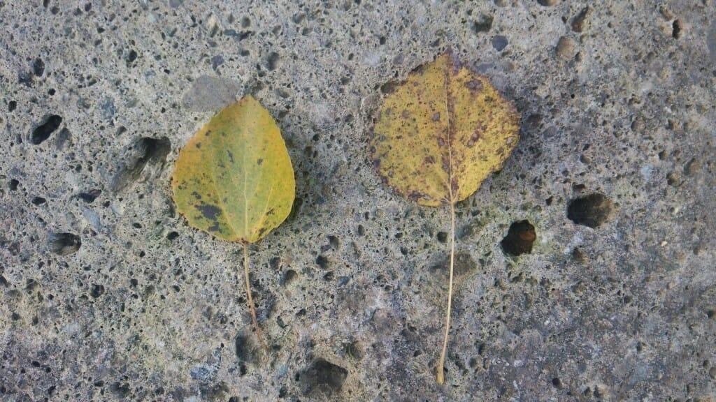 アスペンの葉
