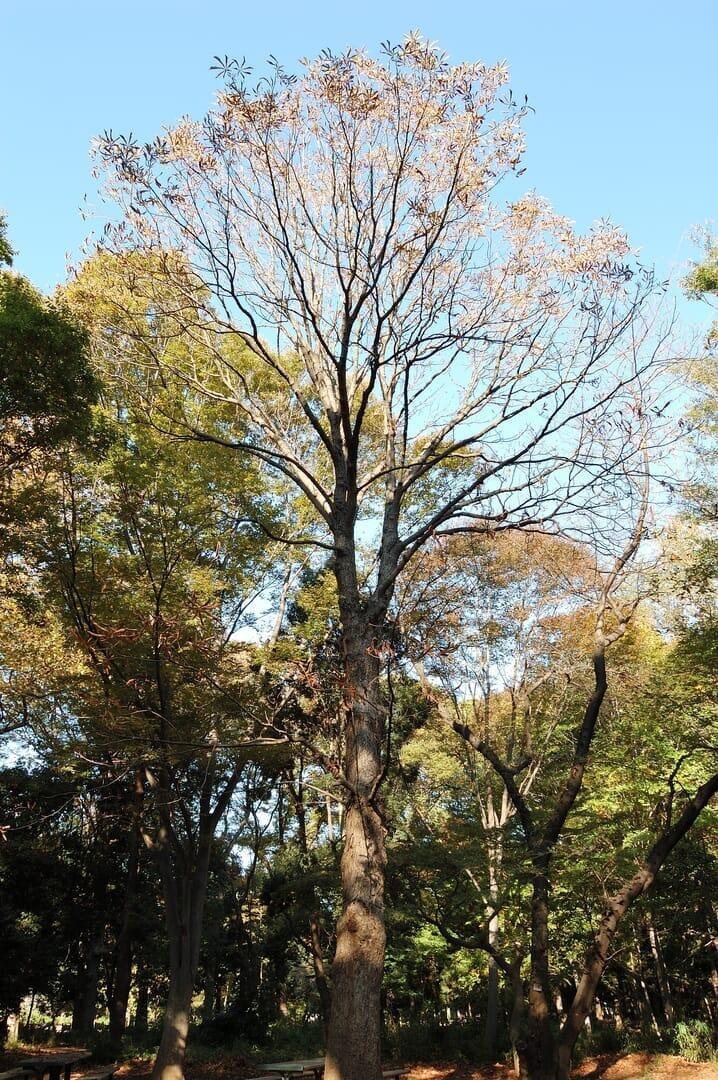 ホワイトチェスナットの、日本に自生する近縁種、トチノキ(2013/11/16)
