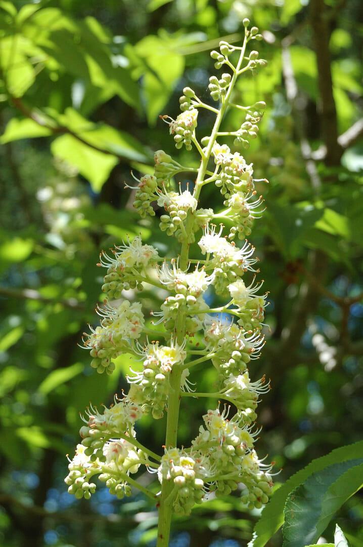 ホワイトチェスナットの、日本に自生する近縁種、トチノキ(2014/5/18)