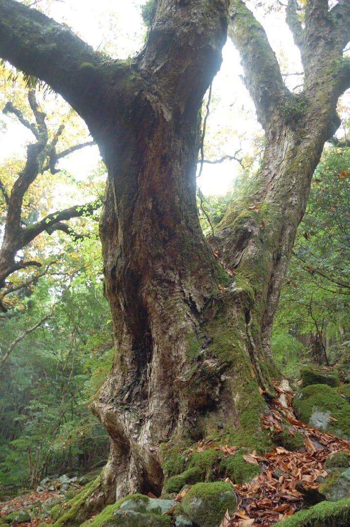 ホワイトチェスナットの、日本に自生する近縁種、トチノキ(2013/10/23)