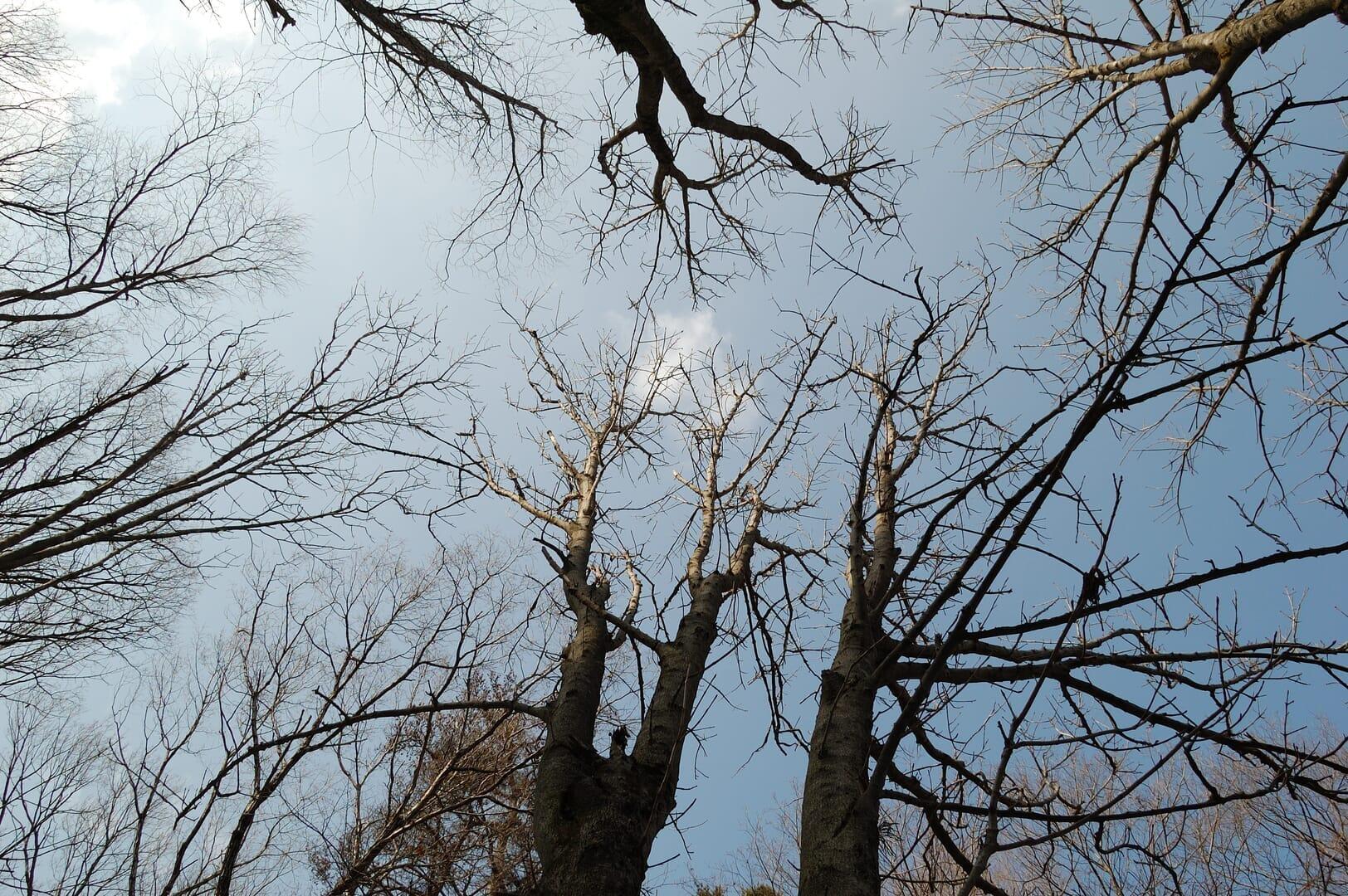 ホワイトチェスナットの、日本に自生する近縁種、トチノキ(2014/2/16)