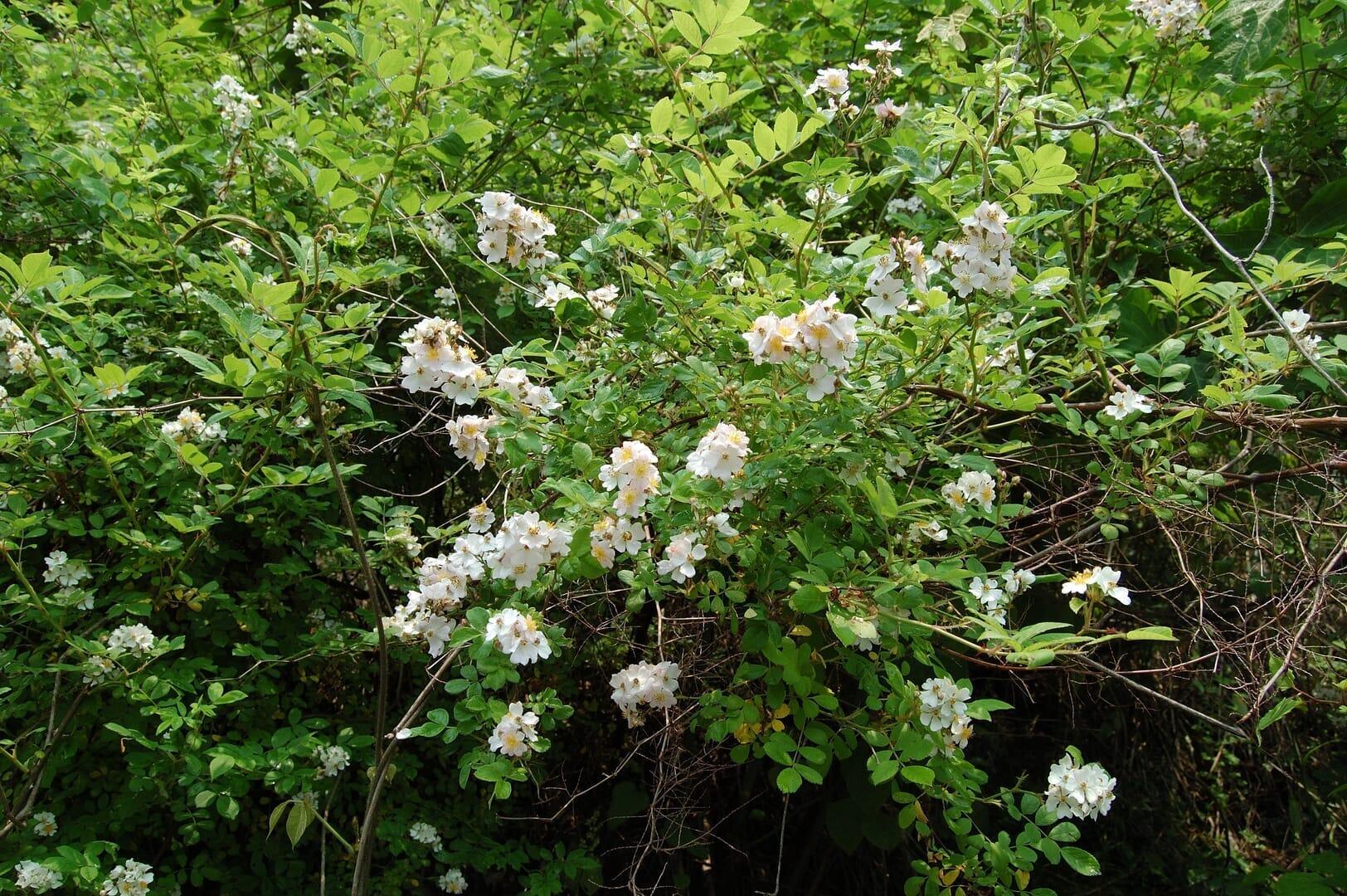 ワイルドローズの近縁種で日本に自生するノイバラ