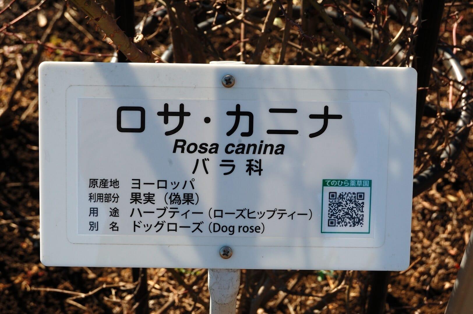 ワイルドローズ2015/2/1 @東京都薬用植物園