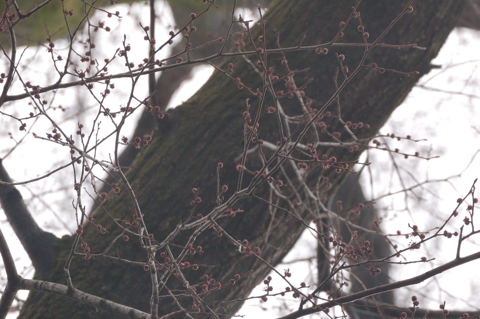 エルム(2015/03/08)@小石川植物園