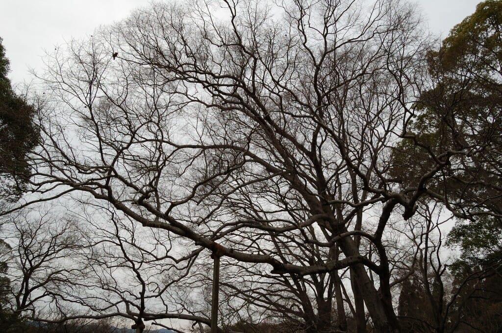 エルムの類縁種の日本に自生するアキニレアキニレ