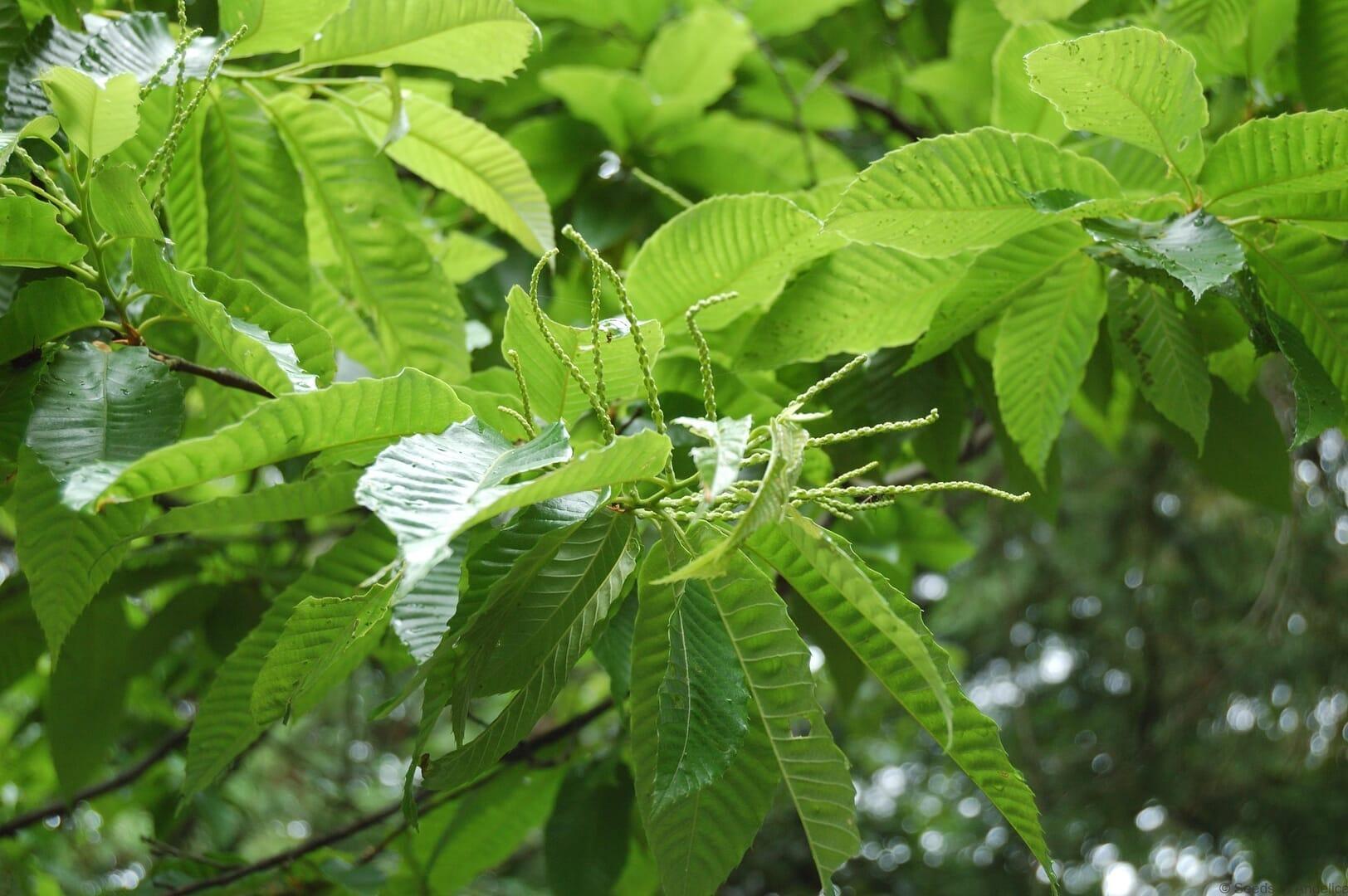 スイートチェスナットの類縁種で日本に自生するシバグリ