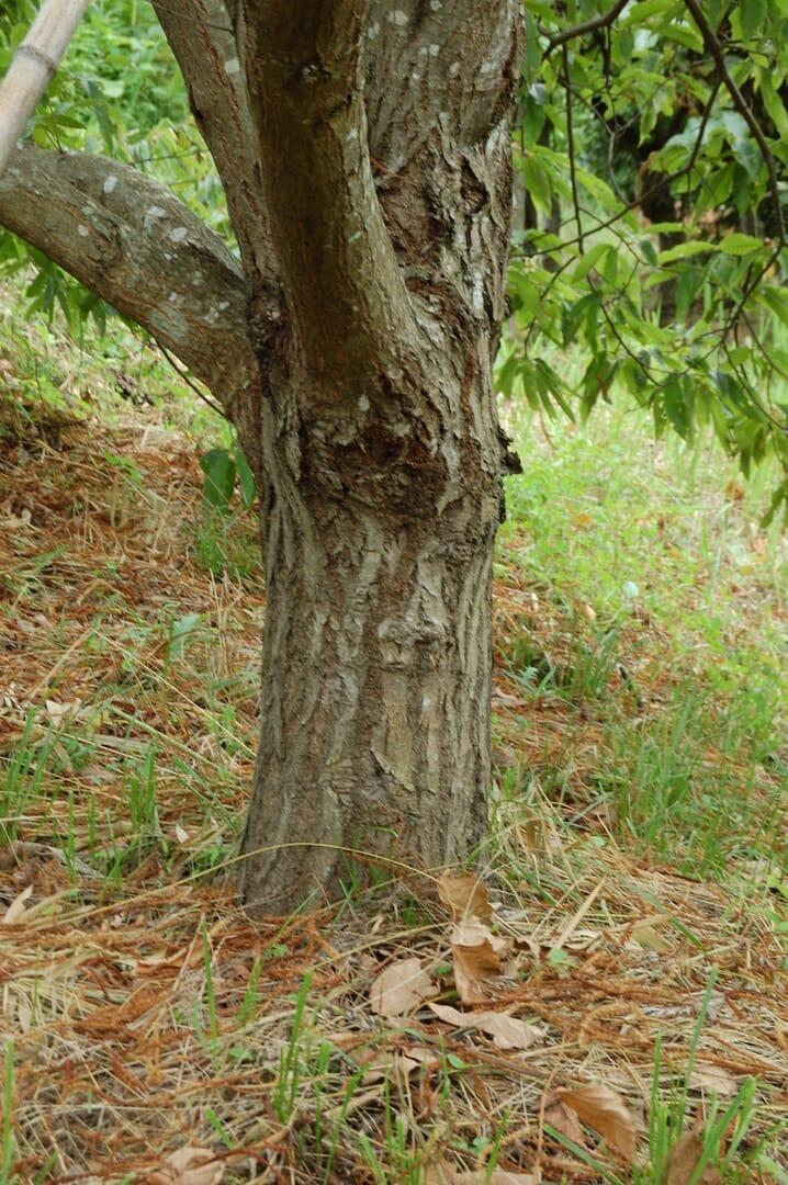 スイートチェスナットの類縁種で日本の栽培品種・銀寄席(Castanea crenata)