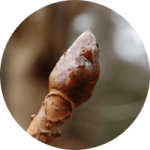 circle-image_chestnut_bud