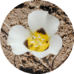 circle-image_mariposa_lily