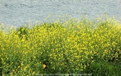 セイヨウカラシナが咲き始めました
