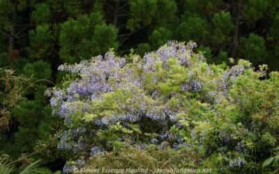 春の里山の花(3)・・・ヤマフジ