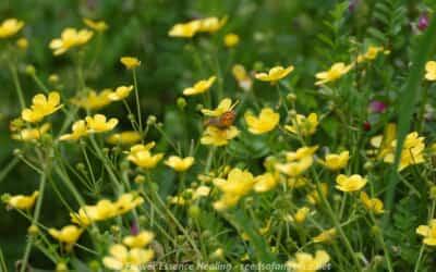 春の里山の花(2)・・・キンポウゲ