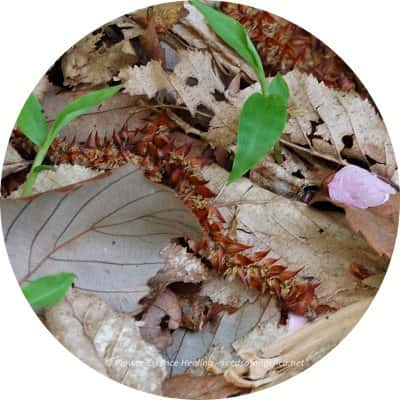 地面に落ちたホーンビームの花