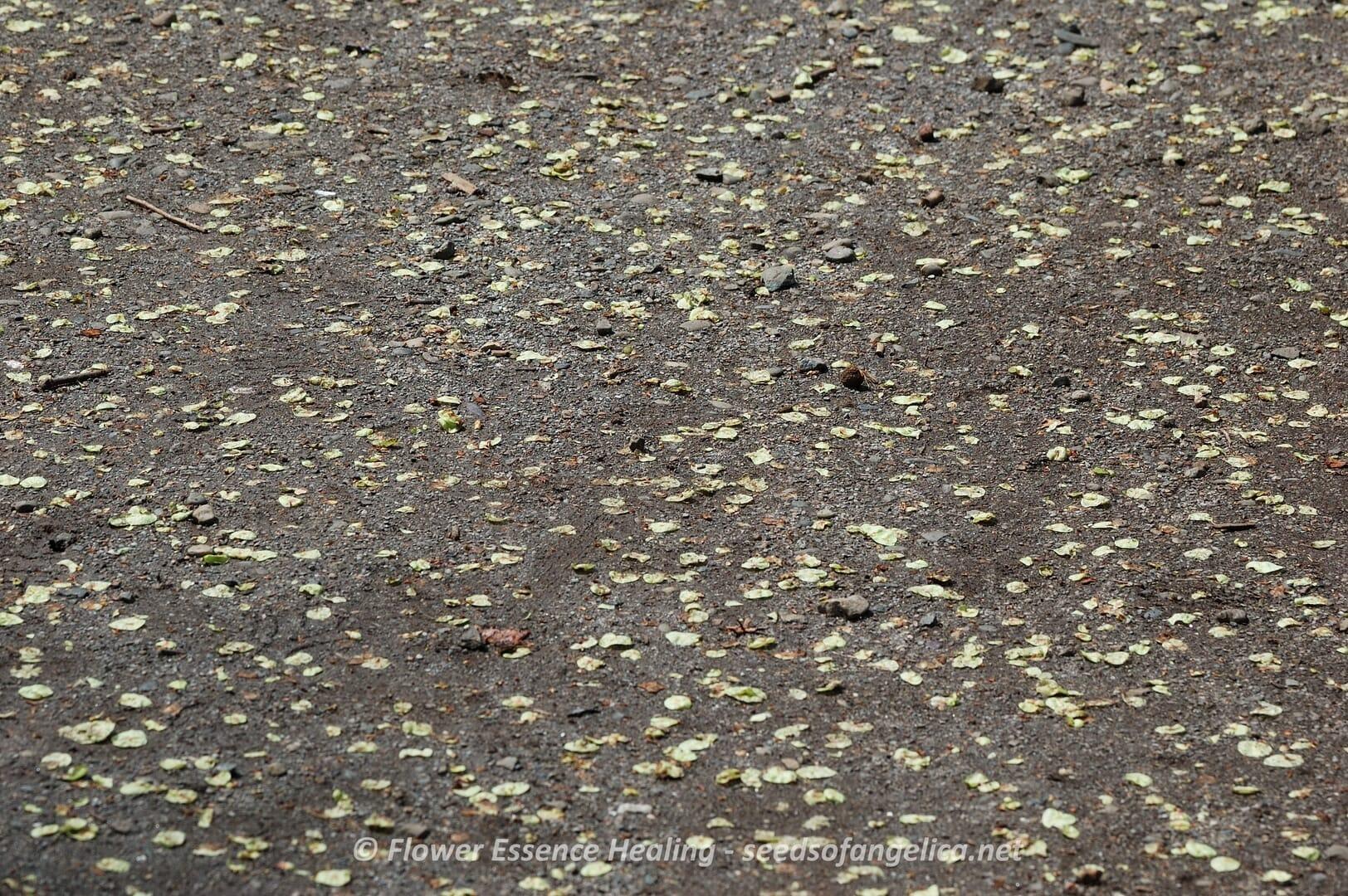 エルム(ヨーロッパニレ)の翼果がたくさん地面に落ちています