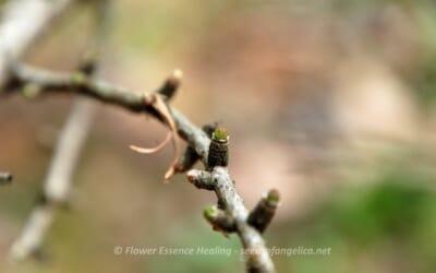 ラーチ(ヨーロッパカラマツ)の新緑と雌花