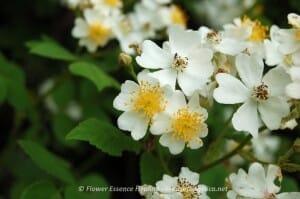 Rosa multiflora(2011/5/26)