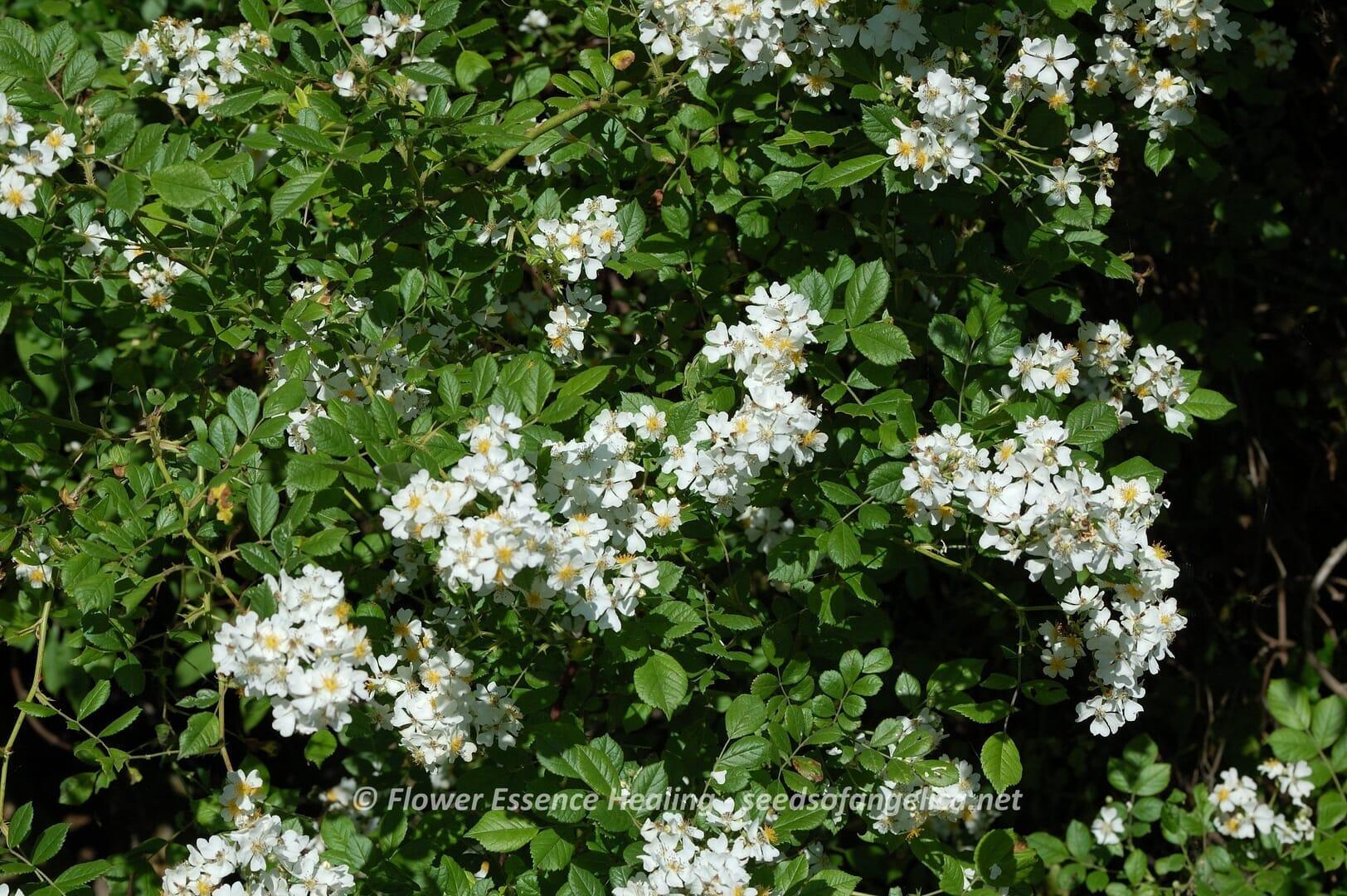 Rosa multiflora(2015/5/21)