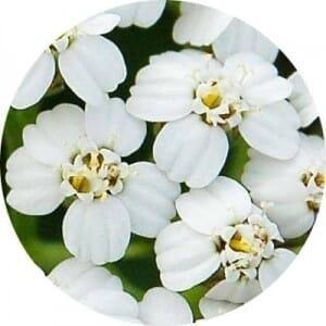 ヤロウ (ヤロー)の花