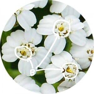 ヤロウの筒状花