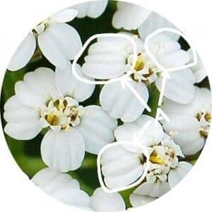 ヤロウ (ヤロー)の舌状花