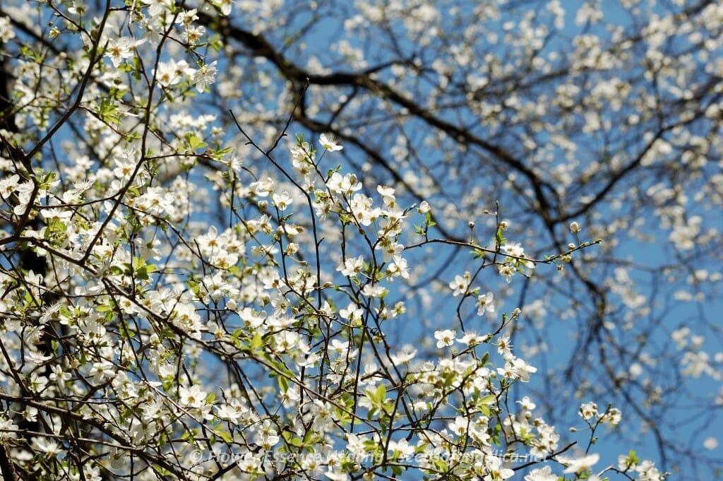 チェリープラム(ミロバランスモモ)の花
