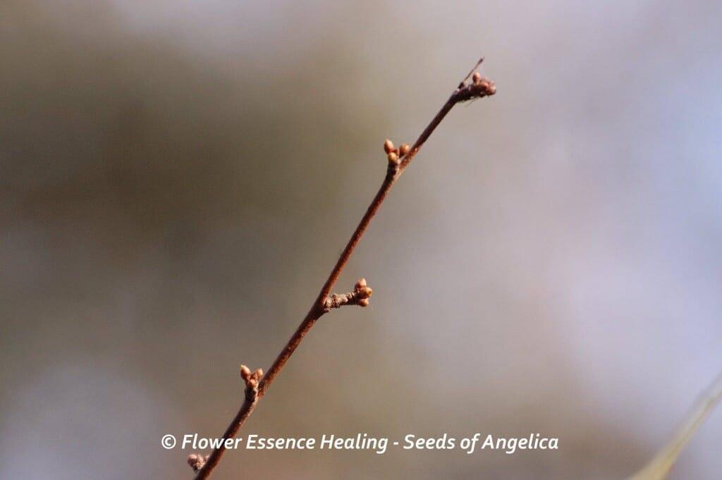 チェリープラムの冬芽