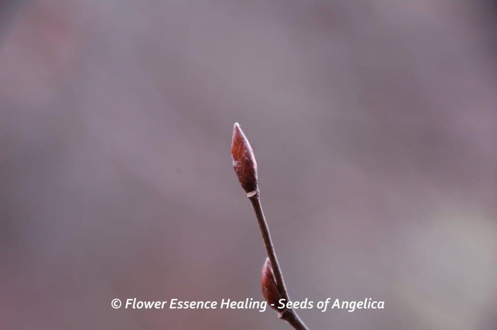 ホーンビームの冬芽
