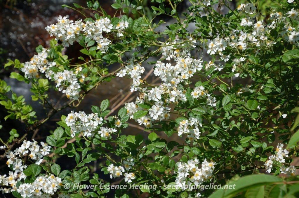 Rosa multiflora (2015/5/21)