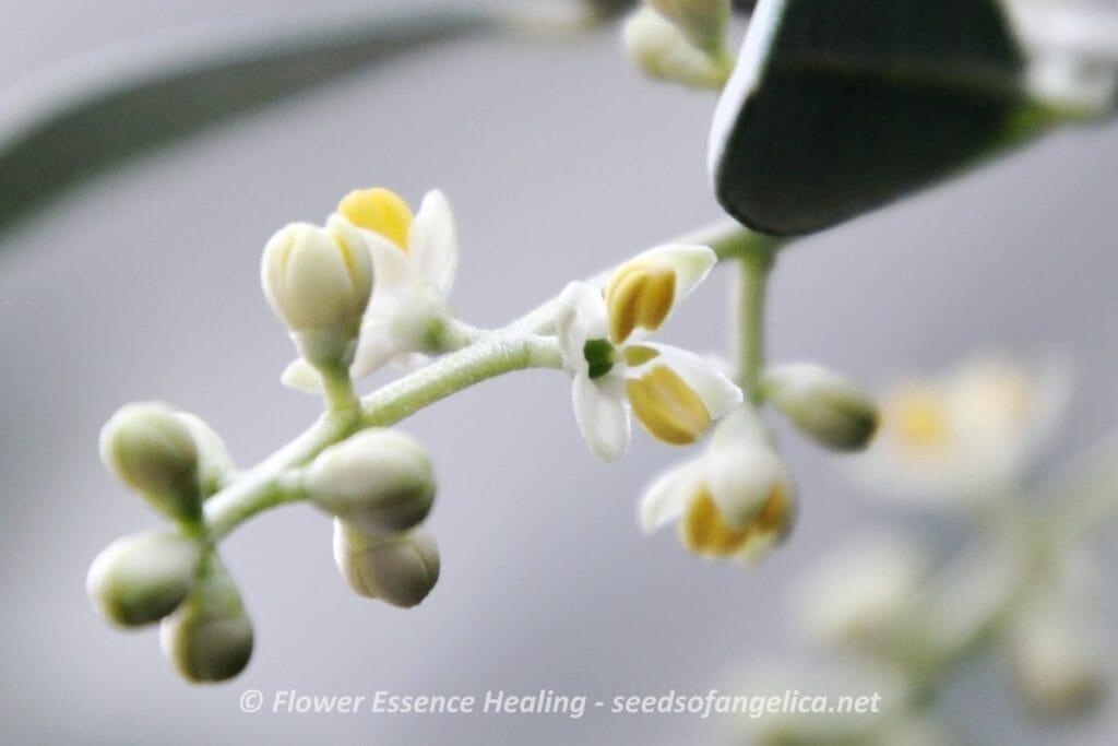 オリーブの花(2016/5/17)