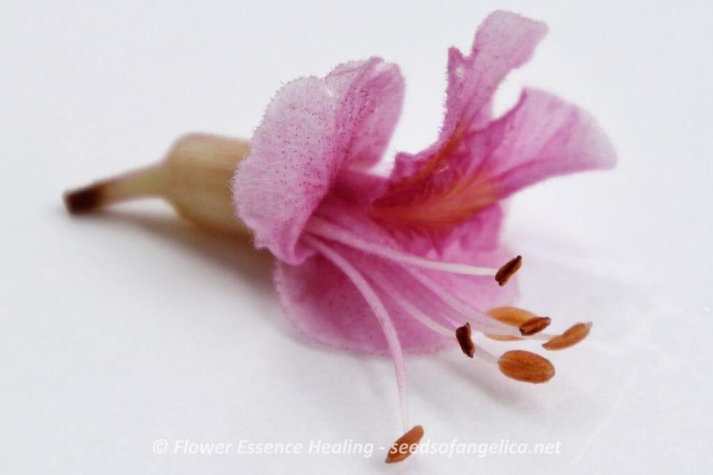 レッドチェスナットの花