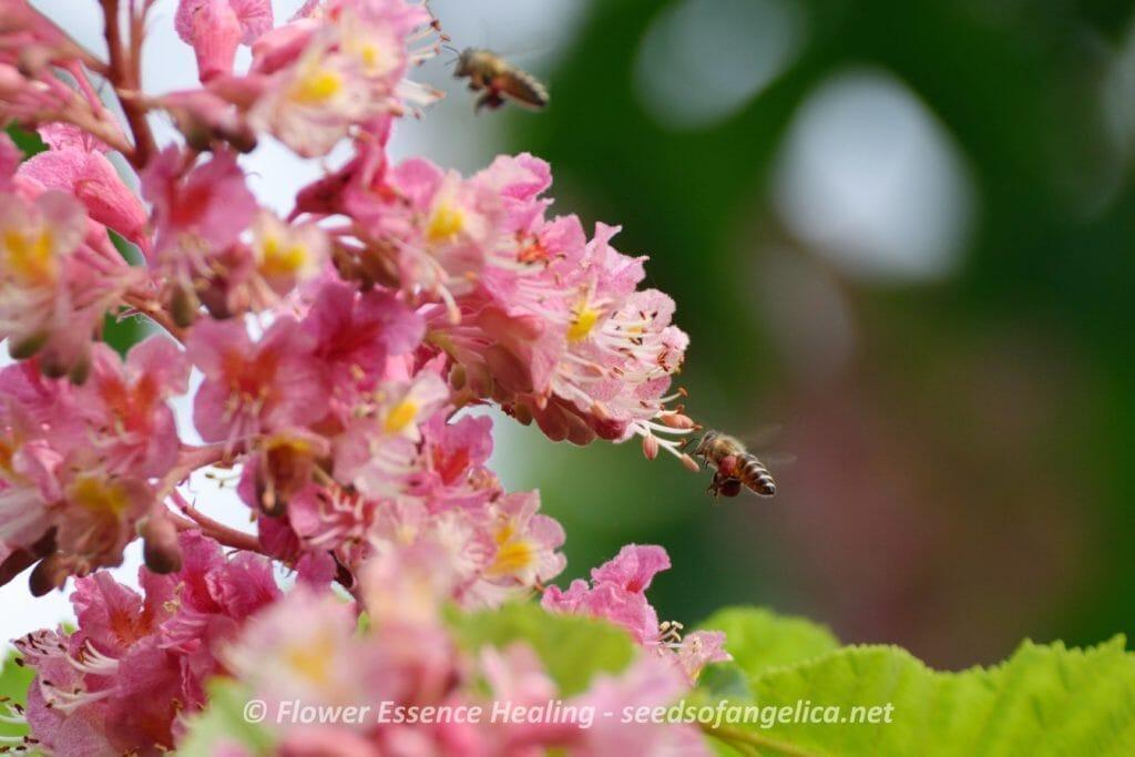 レッドチェスナットとミツバチ