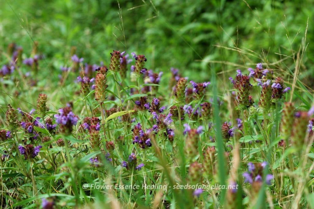 Prunella vulgaris subsp. asiatica