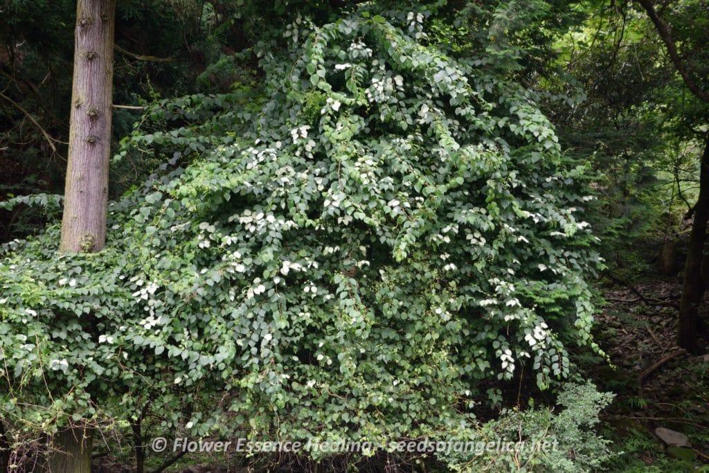 マタタビ(Actinidia polyga)