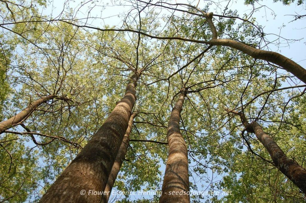 アスペンの木
