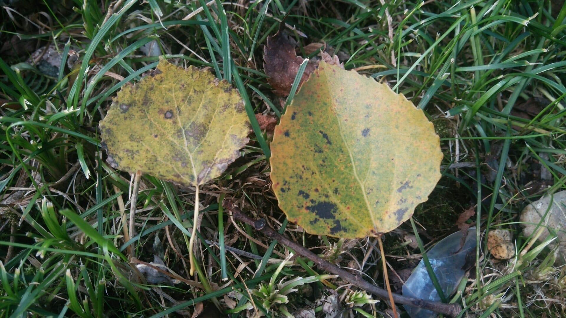 アスペン(ヨーロッパヤマナラシ)の葉(右)と日本のヤマナラシの葉