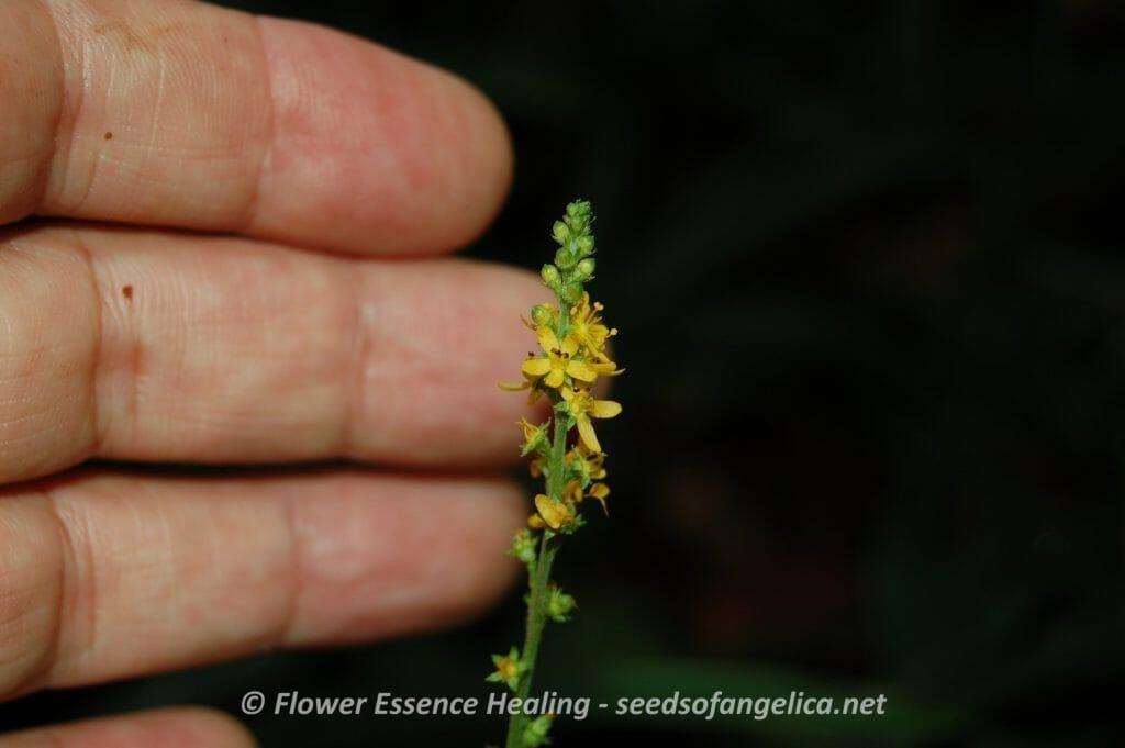 ヒメキンミズヒキ(Agrimonia nipponica)