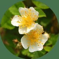ノイバラ(rosa multiflora)