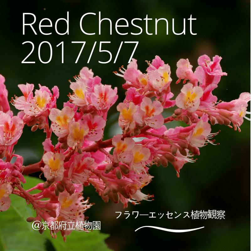 レッドチェスナット植物観察会