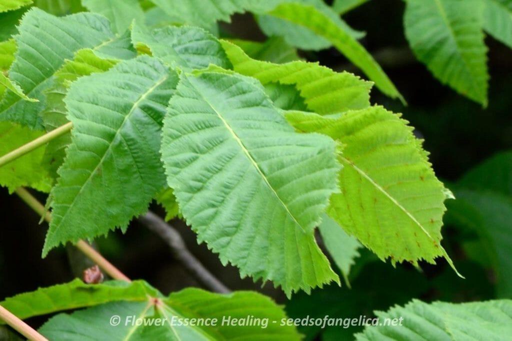 レッドチェスナットの葉