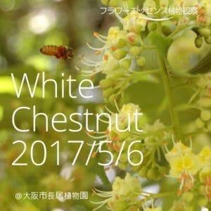 ホワイトチェスナット観察会