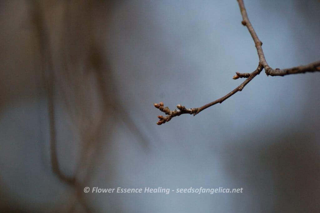 チェリープラムの冬芽(2015/2/10)