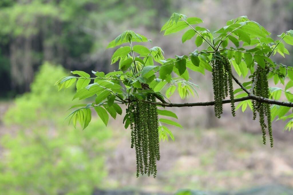 オニグルミ(ウォルナットの類縁種)