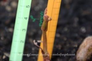 トチノキの幼木