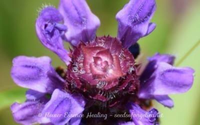 里山の花・・・ウツボグサ(セルフヒールの亜種)