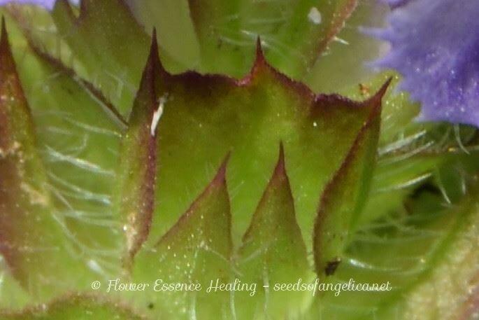 ウツボグサ(セルフヒールの亜種)の花のつくりとメタモルフォーゼ-3