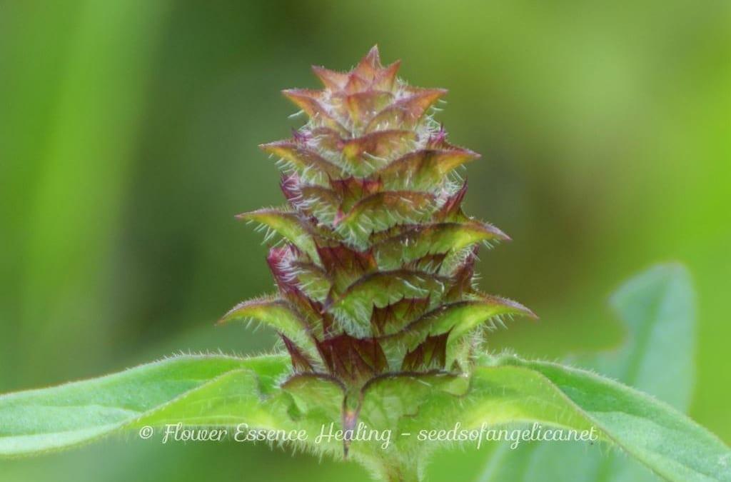 ウツボグサ(セルフヒールの亜種)の花のつくりとメタモルフォーゼ-2