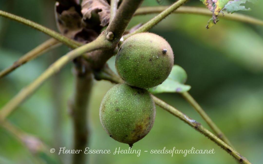 里山の植物:オニグルミ(ウォルナットの類縁種)