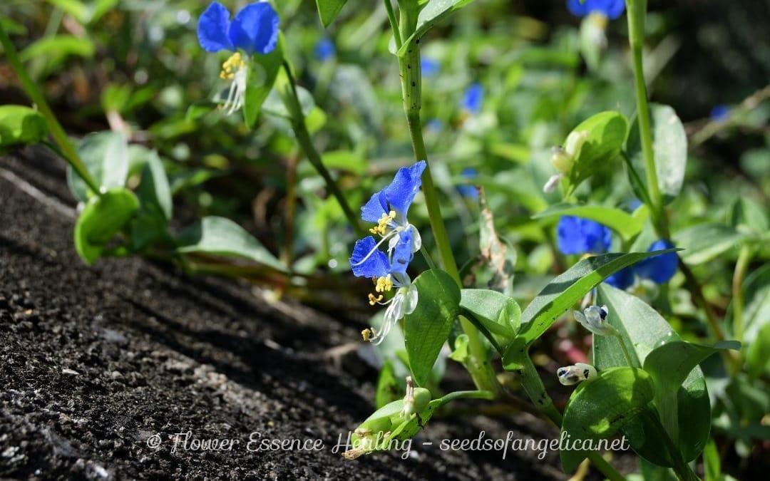 里山の秋の植物:ツユクサ